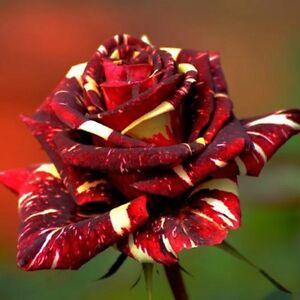 20-METEOR-SHOWER-Rose-Bush-Seeds-Beautiful-USA-SELLER-SHIPS-FREE