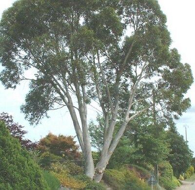 Gartenbaum immergrün farbenfroh ganzjährige exotische Samen SCHNEEGUMMIBAUM