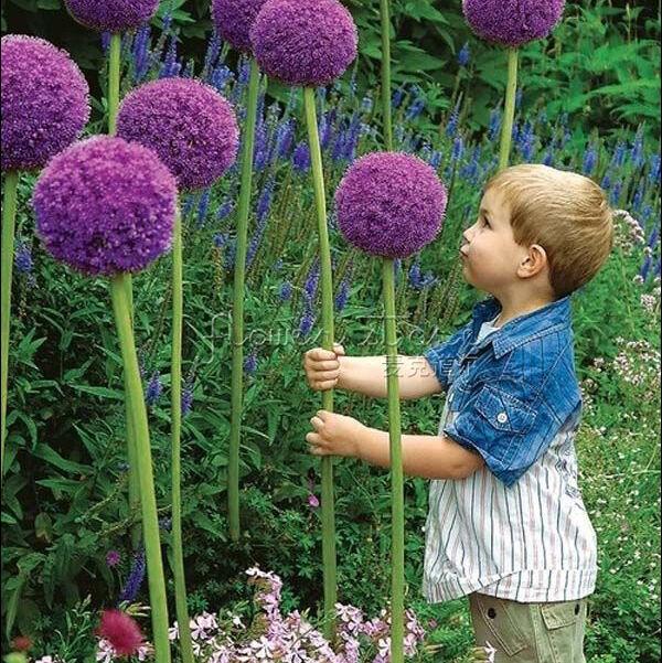 20 GIANT ALLIUM GLOBEMASTER Allium Giganteum Flower Seeds~organic