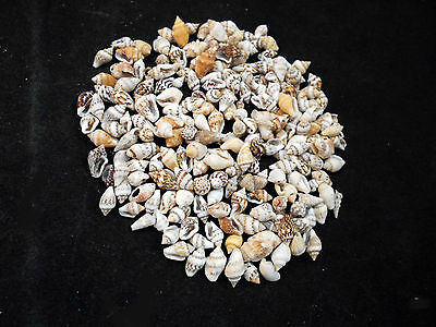 "1 oz (about 120 shells) Mixed Nassa Mini Shells (1/4""-1/2"") Crafts Seashells"