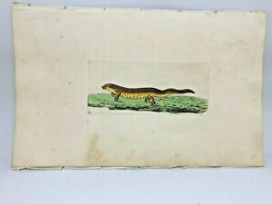 Newt - 1783 RARE SHAW & NODDER Hand Colored Copper Engraving
