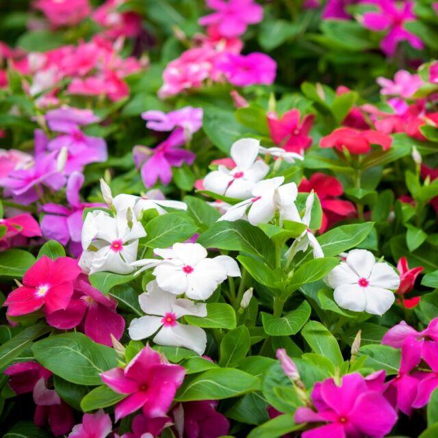 10PCS Vinca Rosea Madagascar Periwinkle DIY Home Garden Bonsai Pots C1MY 01