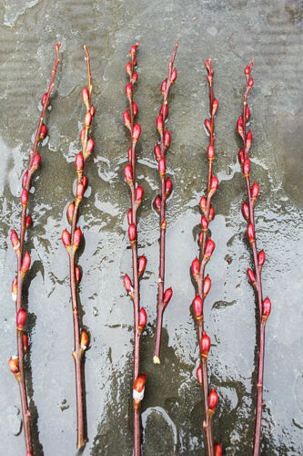 """Pussy Willow 5 Cuttings Salix Discolor 7/""""-9/"""" inches Garden Live Trees Yard"""