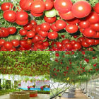 10pcs Seeds Sweet Huge Tree Tomato Seeds Fruit Vegetable Seeds Home Garden