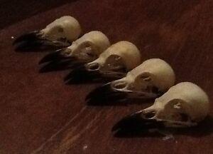 5-lots-Real-magpie-crow-skull-Wicca-goth-pagan-Curo-taxidermy-arts-craft-bird