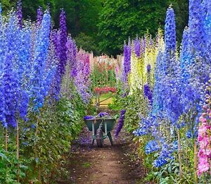 1000 larkspur seeds giant imperial mix delphinium consolida combsh
