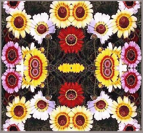 Combined S/&H Chrysanthemum carinatum 800 Painted Daisy Flower Seeds