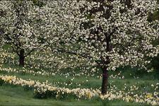 513081 Apple And Daffodil Blossoms Rockliffe Park Ottawa Canada A4 Photo Print