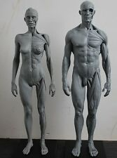 w70 30cm 1:6 human body anatomy model teaching model medical model male+female