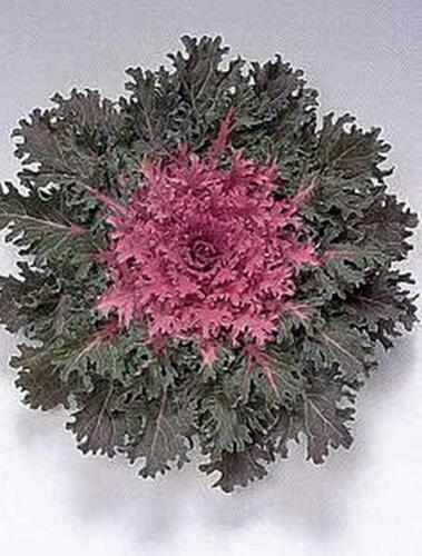 Flowering Kale Coral Queen Red Annual Seeds