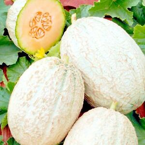 Melon-Emir-f1-early-Seeds-fruit-early-ERA-from-Ukraine