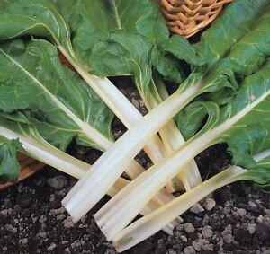 éNergique Légumes Biologiques-feuilles De Betterave-bette à Carde 280 Graines-afficher Le Titre D'origine