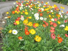 2500 ICELAND POPPY MIXED COLORS Papaver Nudicaule Flower Seeds + Gift & Comb S/H