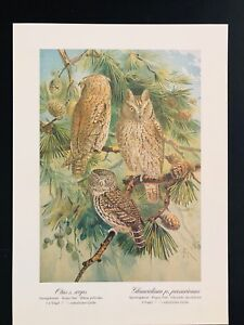 Antique-Bird-Print-Tengmalm-039-s-Pygmy-3-Little-Owl-SCHLEIEREULE-Plate-Naumann-1896