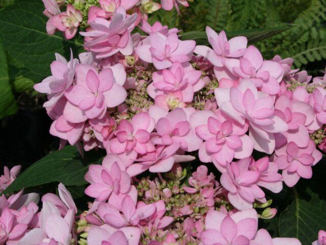 Hydrangea Romance in 9cm pot