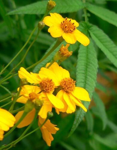 Mexican Dream Herbs Marigold Lucida Seeds Culinary Herb Yauhtli