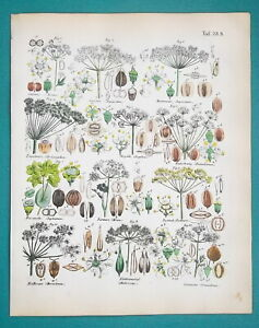 SPICES-Botany-Coriander-Celery-Hare-039-s-Ear-Angelica-1845-H-C-COLOR-Print