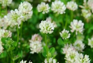Ball-White-Clover-Seed-Reseeding-Bee-Livestock-Forage-CO-IN-Seeds-oz-to-4oz
