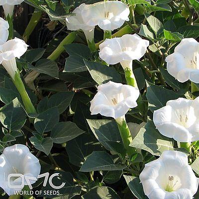 SACRED DATURA (Datura Wrightii) 20+EXTRA seeds (#836)