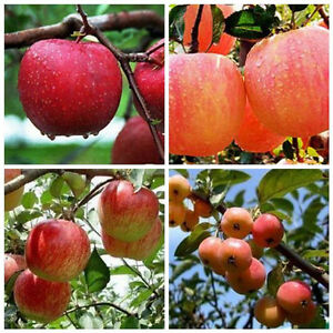 20PCS-Bonsai-Apple-Tree-Fruit-Seeds-Plants-Seed-Outdoor-Living-Yard-Home-Garden