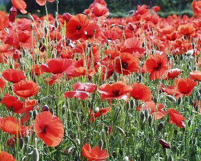 1000 AMERICAN LEGION RED POPPY Shirley Corn Papaver Rhoeas Flower Seeds + Gift