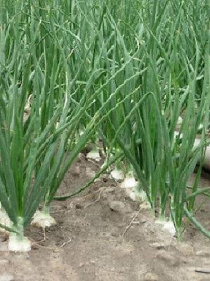 500 Walla Walla Onion Seeds 110 days Seed