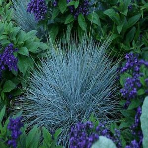 Blue fescue ornamental grass seeds festuca cinerea glauca for Small blue ornamental grass