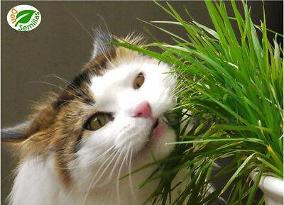 Hierba para Gatos 2.000 semillas de Gato Cat Grass Herb Seeds Lolium perenne