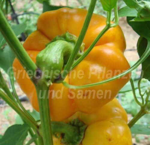 Pomme-poivrons jaune Mignon pour balcon très rare récolte record 10 graines