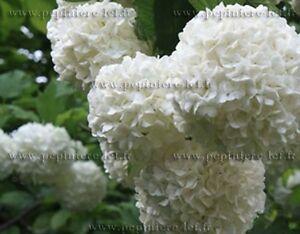 VIORNE-BOULE-DE-NEIGE-viburnum-opulus-roseum
