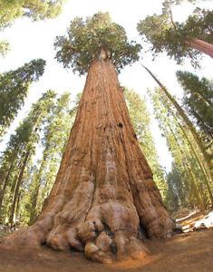 30-graines-de-Sequoia-Geant-Sequoiadendron-Giganteum-Redwood-seeds