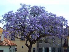 * Worlds Fastest Growing * 100 seeds Paulownia Princess Tree Blue Flowers Yard