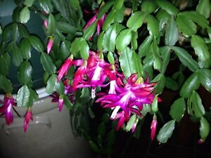 Christmas-Cactus-Schlumbergera-Buckleyi-Old-Fashion-3-fresh-cuttings-3-Segments