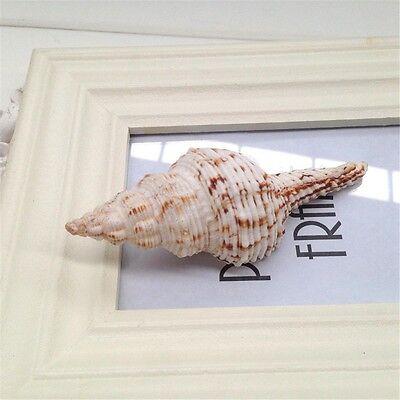 2Pc Natural Sea Beach Spiral Conch Shells Craft Home Aquarium Decor Collection