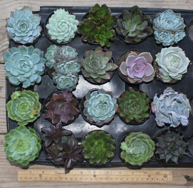 """20 Misc Echeveria Mixed Succulents 2.5 """" Pots Great for Gifts and Weddings"""