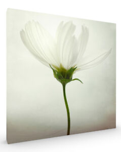 White-Cosmos-Flower-Stretched-Canvas-ready-to-hang-wall-art