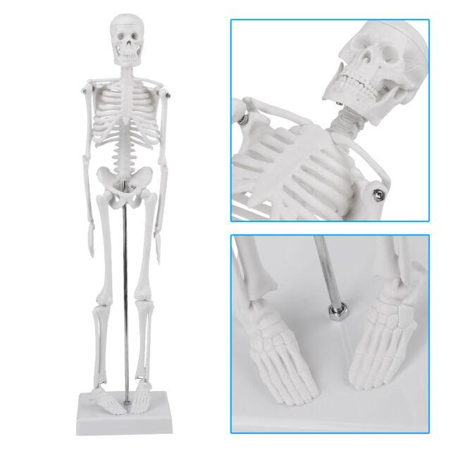 Us Human Anatomical Anatomy Skeleton Medical Stand Skull Quality