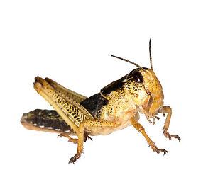 Fringant 100 Subadult Sauterelles Wanderheuschrecke Nourriture Insectes Criquets-cke Futterinsekten Wanderheuschrecken Fr-fr Afficher Le Titre D'origine