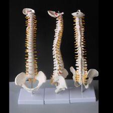 Human Anatomy Spines With Pelvic High Quality Pvc Medical Science Skeleton Model