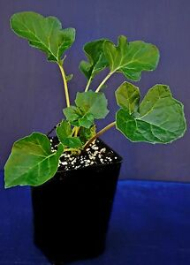 Details About Acanthus Mollis Acanto Bears Breeches Big Spinach Plant Pianta Vaso Quadro