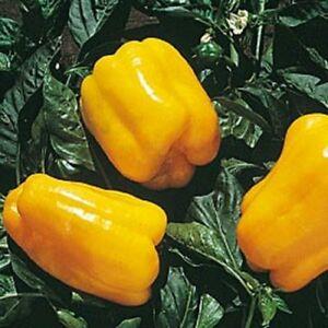 Heirloom-GOLDEN-CALIFORNIA-WONDER-Sweet-Bell-Pepper-50-Seeds-Large-Peppers