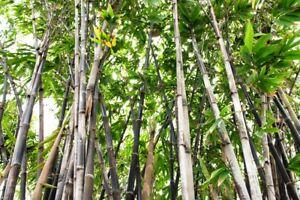 100-Phyllostachys-nigra-Samen-Schwarzer-Bambus-Schwarzrohrbambus-Riesenbambu