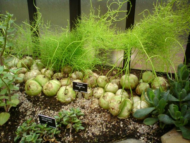 """Climbing Onion """"Bowiea volubilis"""", Succulent, 20 Seeds"""