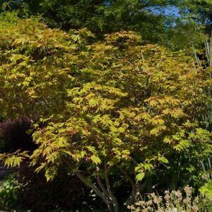 Arce Japonés 'Aconitifolium' Arce JAPONICUM 'Aconitifolium' 5l Pote Ab 60cm