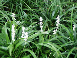Liriope muscari monroe white 50 bare root divisions free shipping image is loading liriope muscari 039 monroe white 039 50 bare mightylinksfo