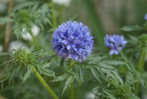 Environ 400 graines Gilia capitata-bleue verrouillage en herbe