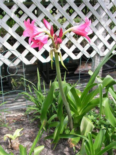 blooming-size bulb fantastic jumbo NEW RARE Lolita Crinum Lily