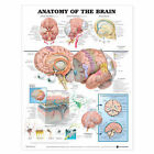 Anatomy of the Brain Anatomical Chart by Anatomical Chart Co. (Fold-out book or chart, 2001)