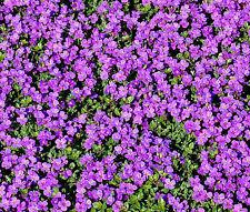 ROCK CRESS PURPLE Aubrieta Deltoidea - 2,000 Bulk Flower Seeds