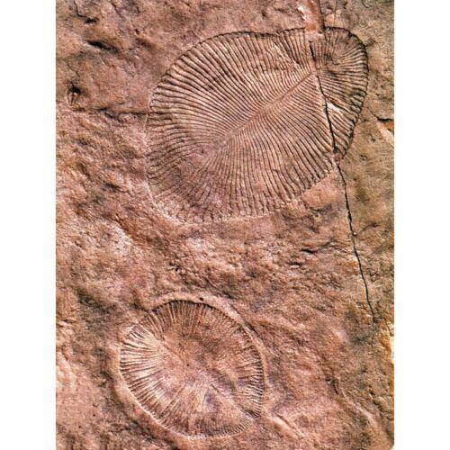Science Archeology Dickinsonia Ediacaran Biota Fossil 12X16 Inch Framed Print